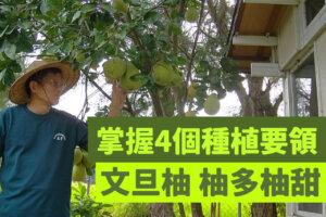 【瑞星一畝田】文旦柚種植管理方法分享